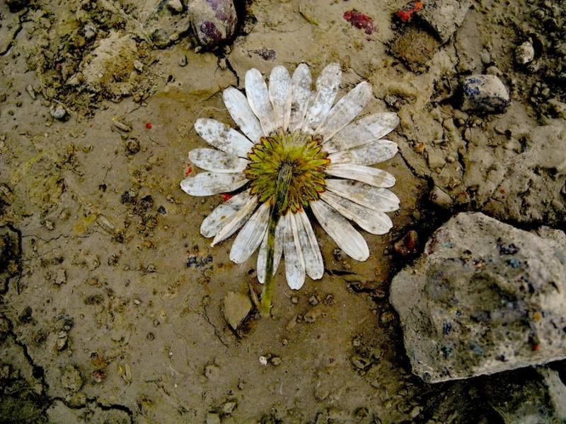 Flower_in_mud_small