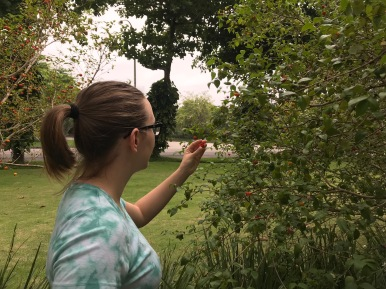 Picking pitanga off the tree